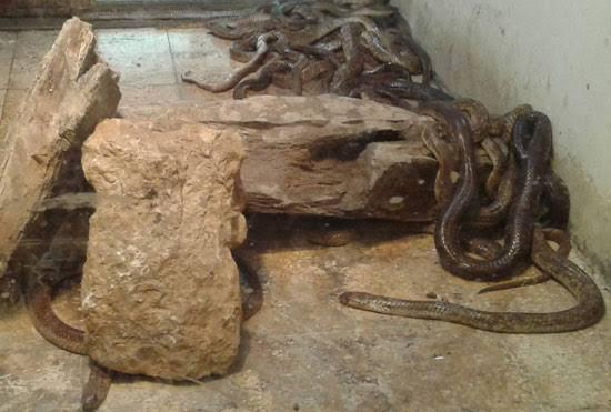 بعض أنواع الثعابين